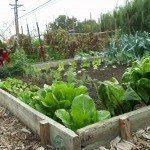 a-vegetable-garden
