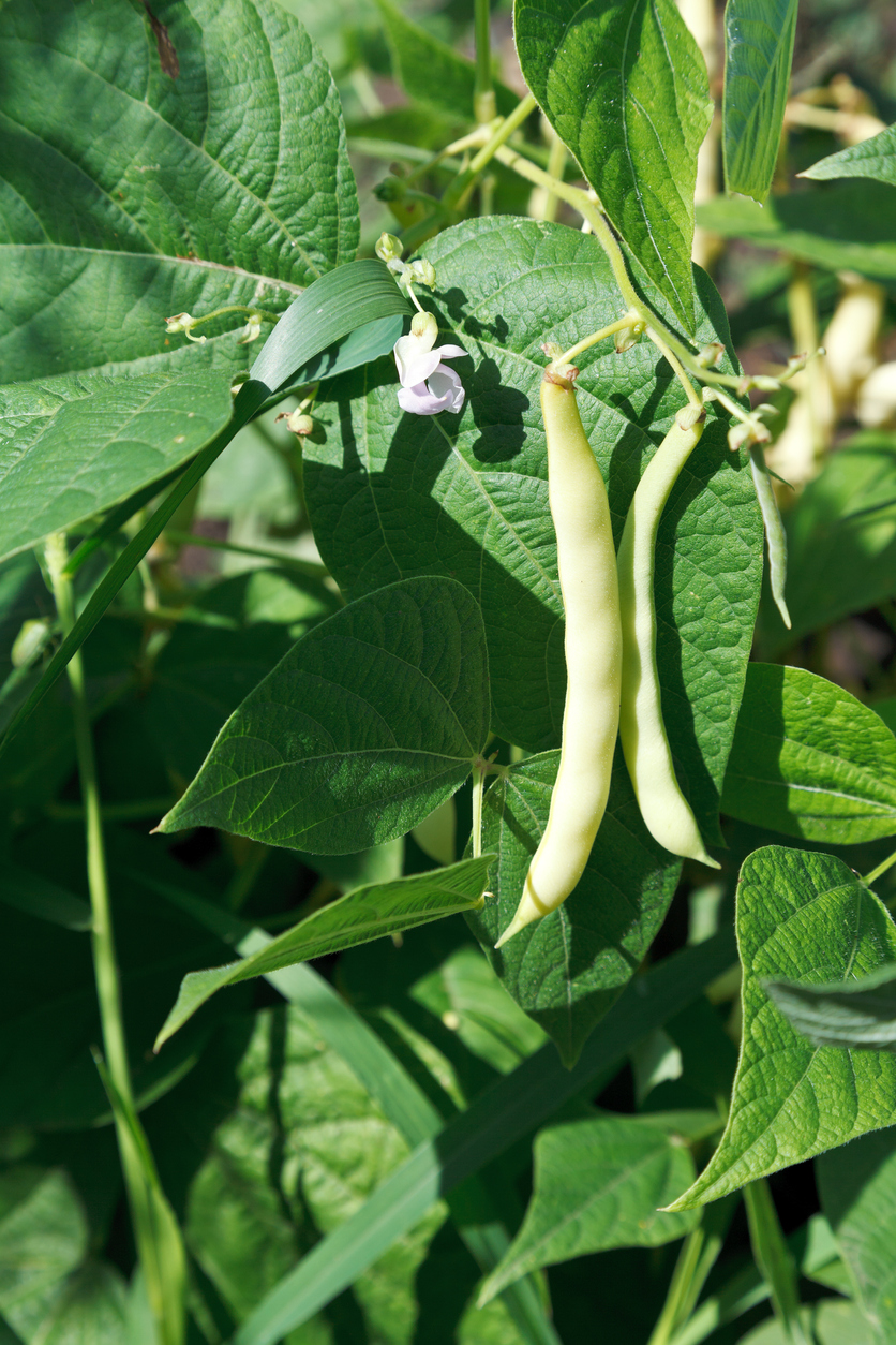 Planting Beans In The Garden Types Of Beans And How To Grow Them