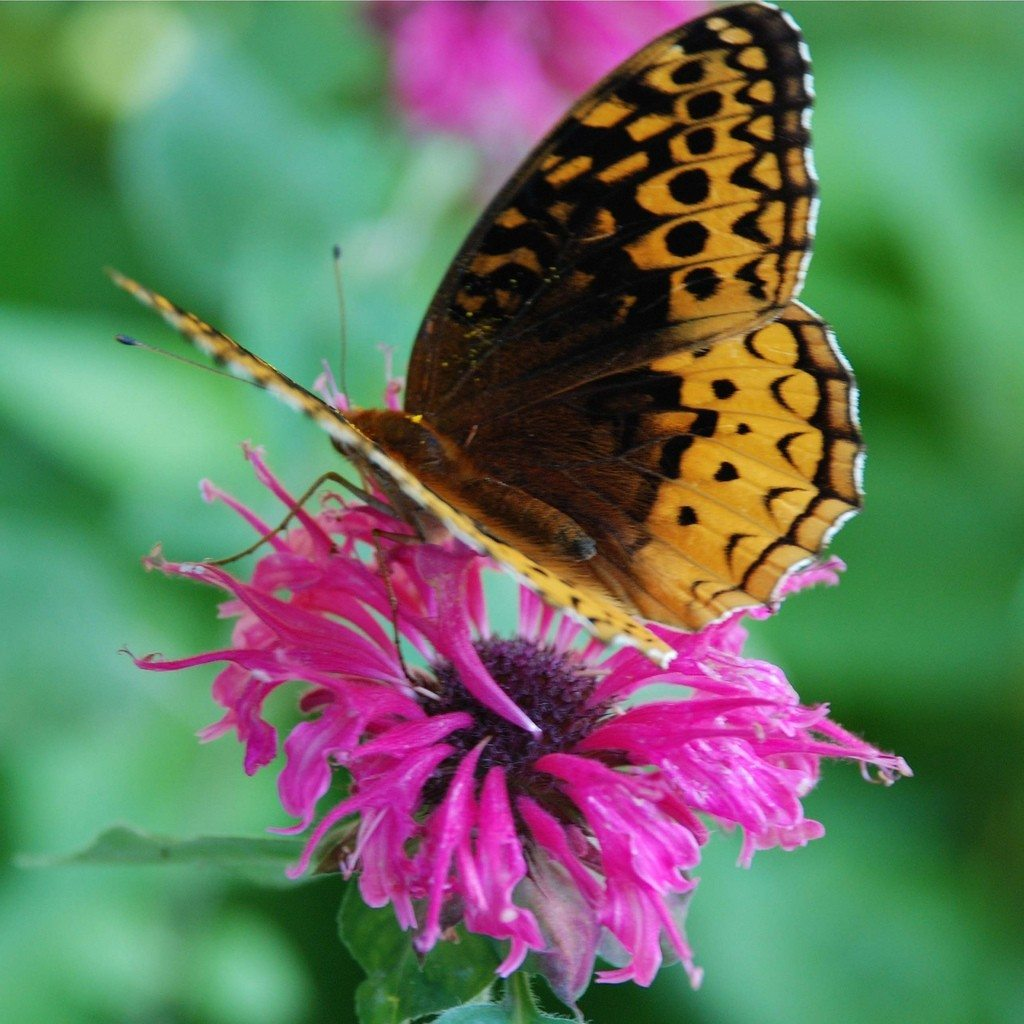 Butterfly Plants Eight Gorgeous Flowers To Attract Butterflies