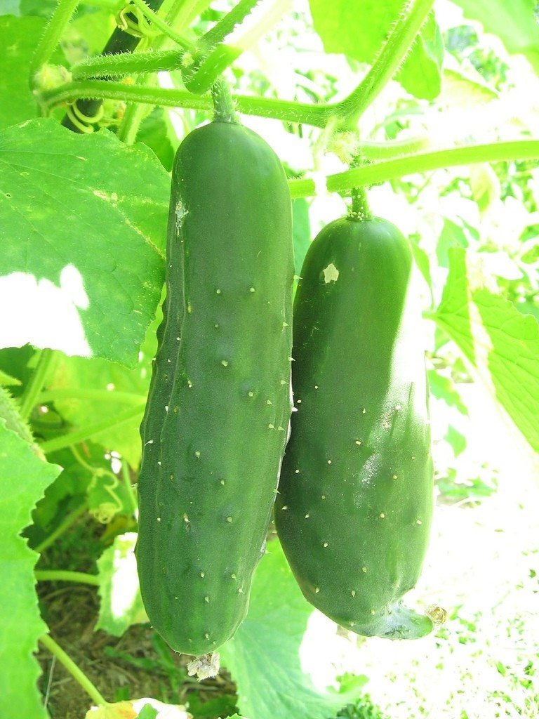 How To Grow And Divide Peonies: Tips For Growing Cucumbers: How To Grow Cucumbers