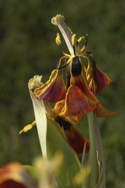 dead tulip flower