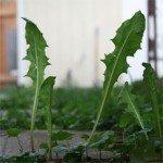 weedy-lawn