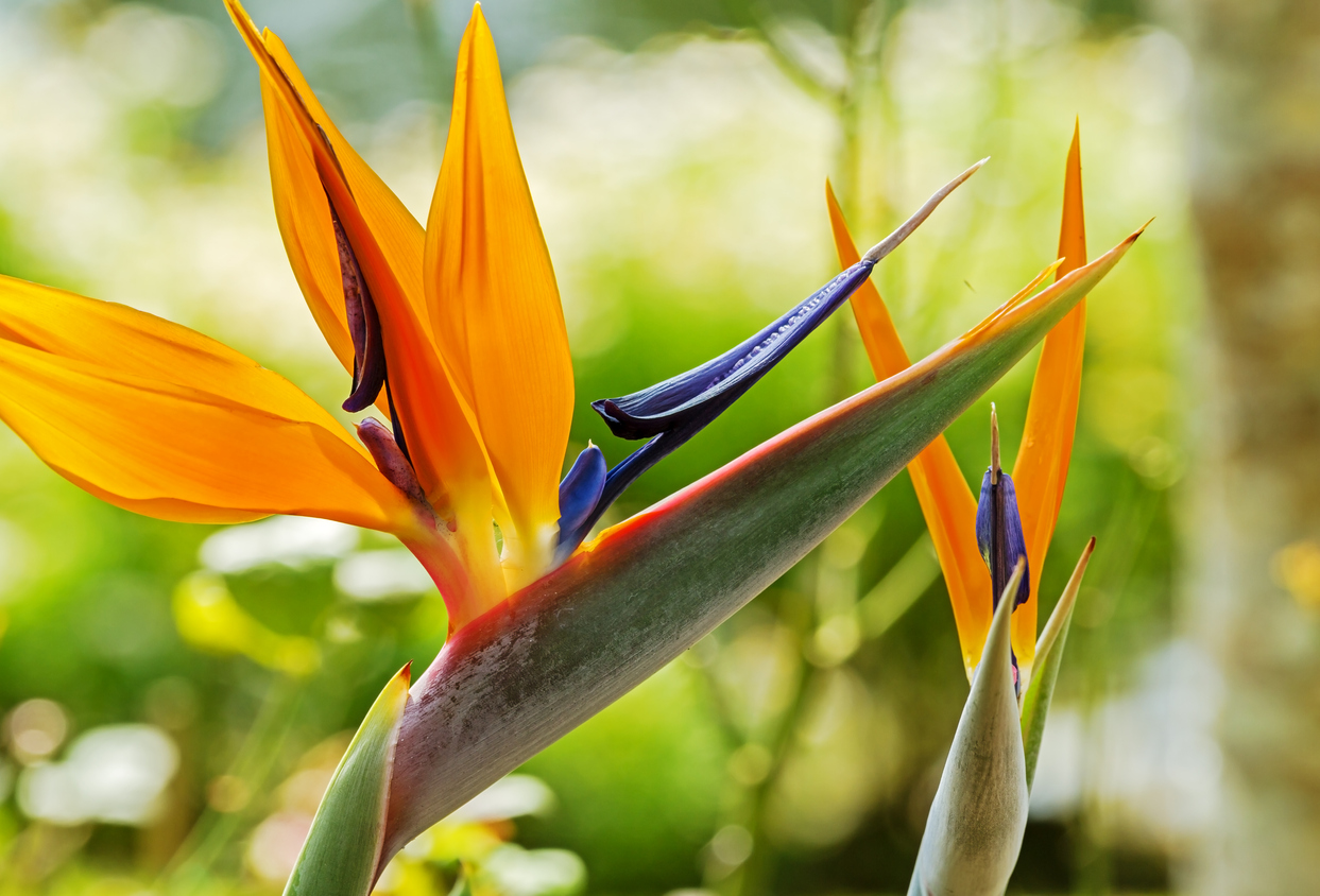 Strelitzia Bird Of Paradise Growing