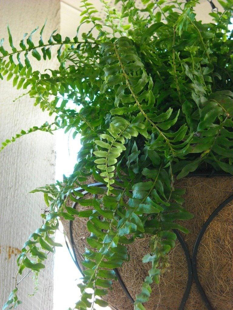 Boston Fern Care Indoors - Nephrolepis Exaltata 'Bostoniensis'