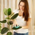 Girl cleaning ficus