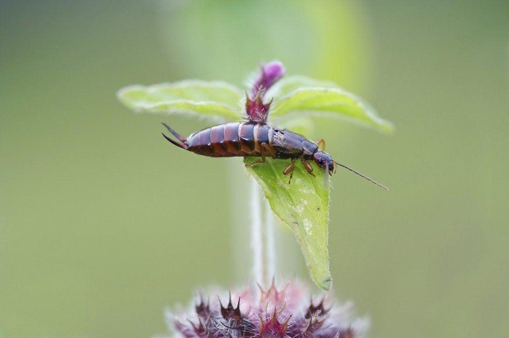 Earwig Problems - Eliminating Earwigs in the Garden