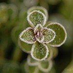 frosty-plant