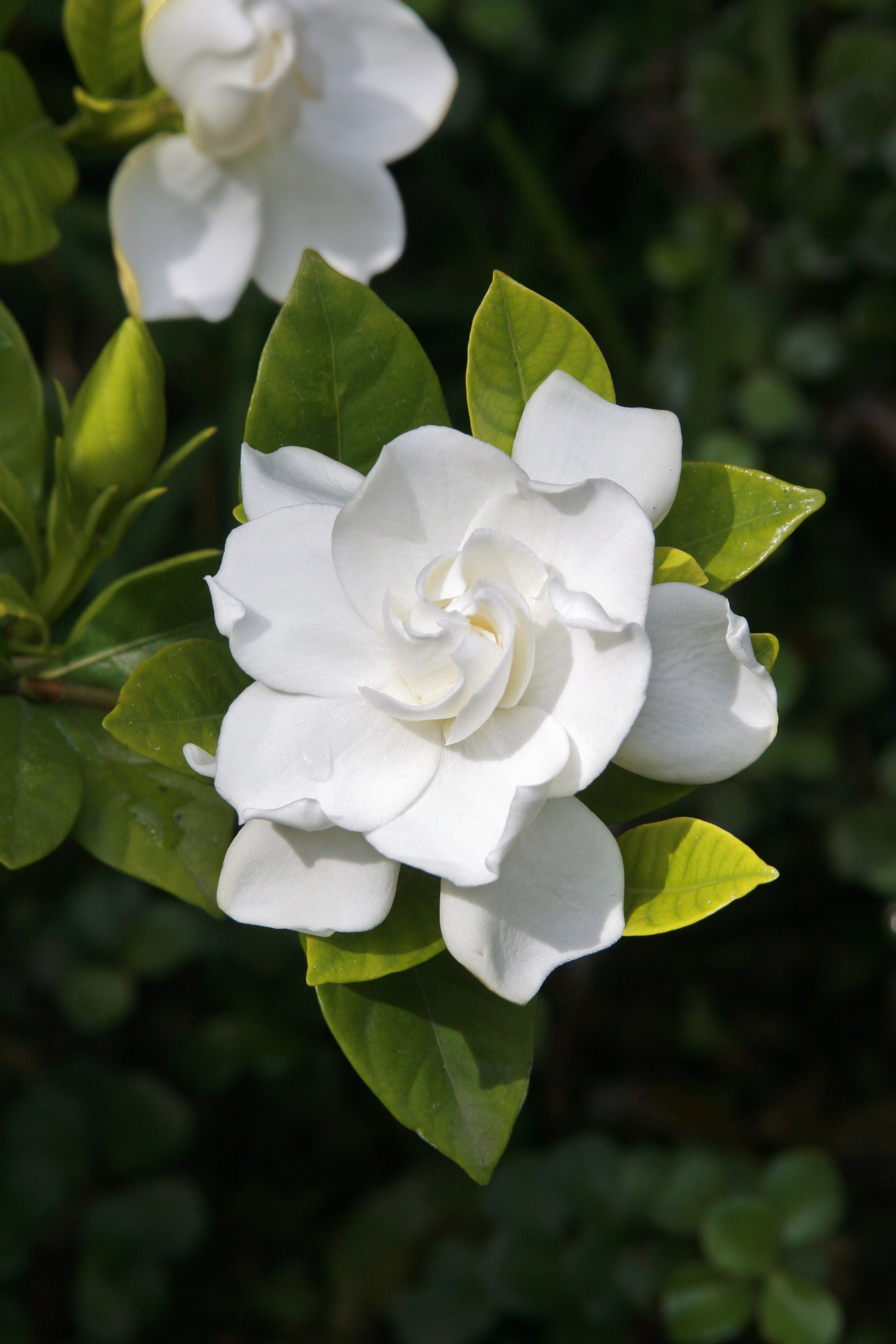 Pruning Gardenias Tips For When And How To Prune A Gardenia