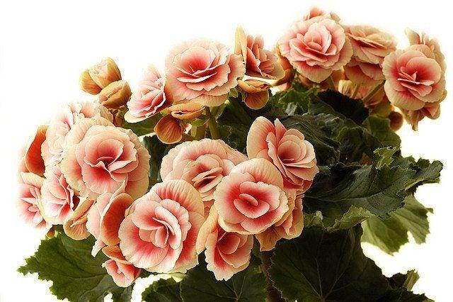 Growing begonia houseplants information on begonias as - Imagenes de plantas de interior ...