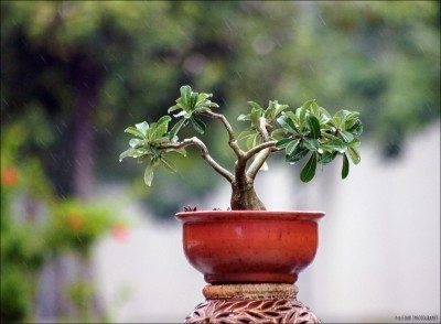 Bonsai Tree Info Basic Care Of Bonsais