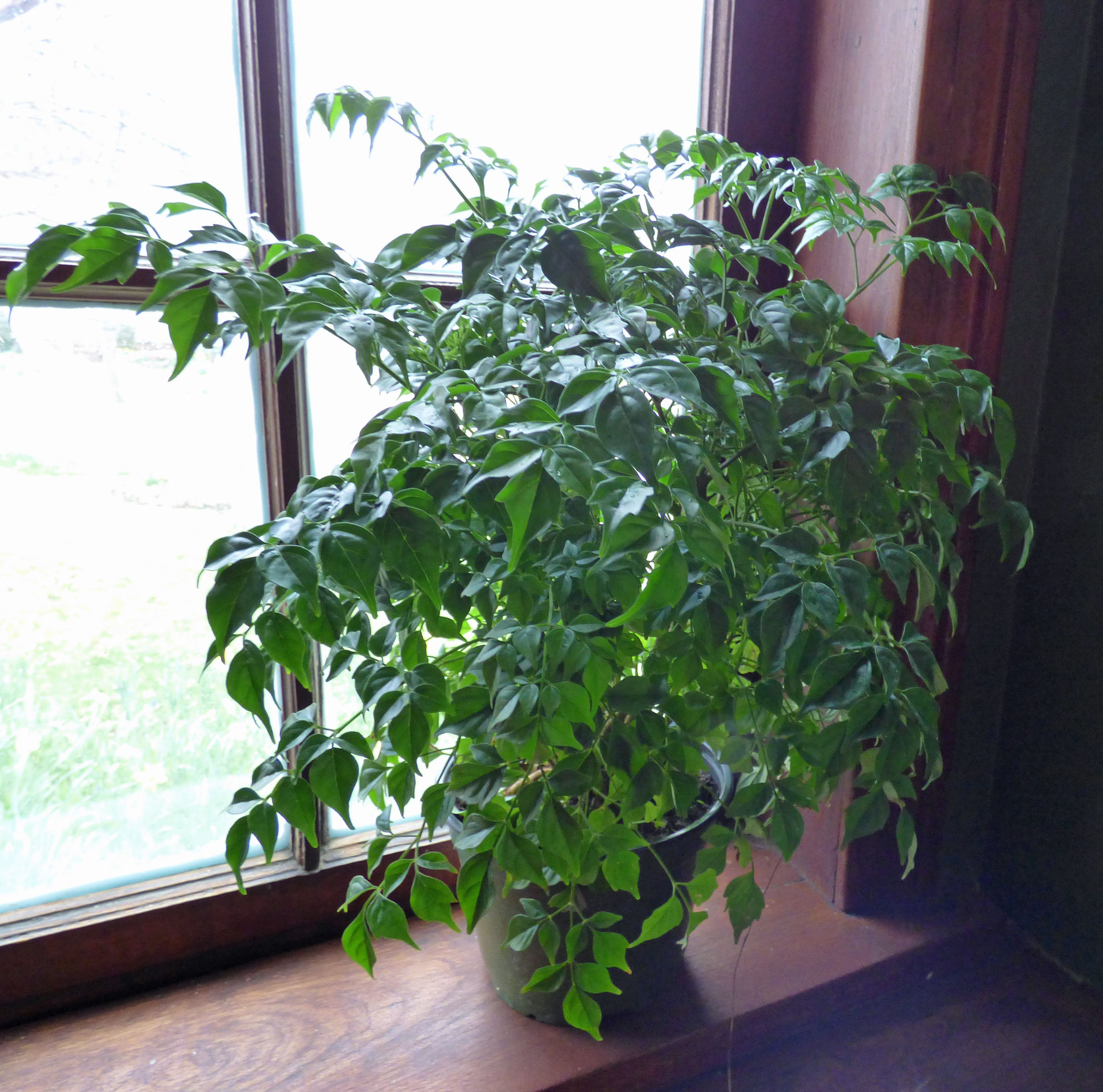 Information on growing china doll houseplants for House plant maintenance