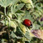 ladybug-eating-aphids
