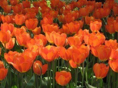how deep do you plant tulip bulbs