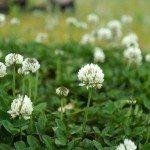 white-clover-lawn