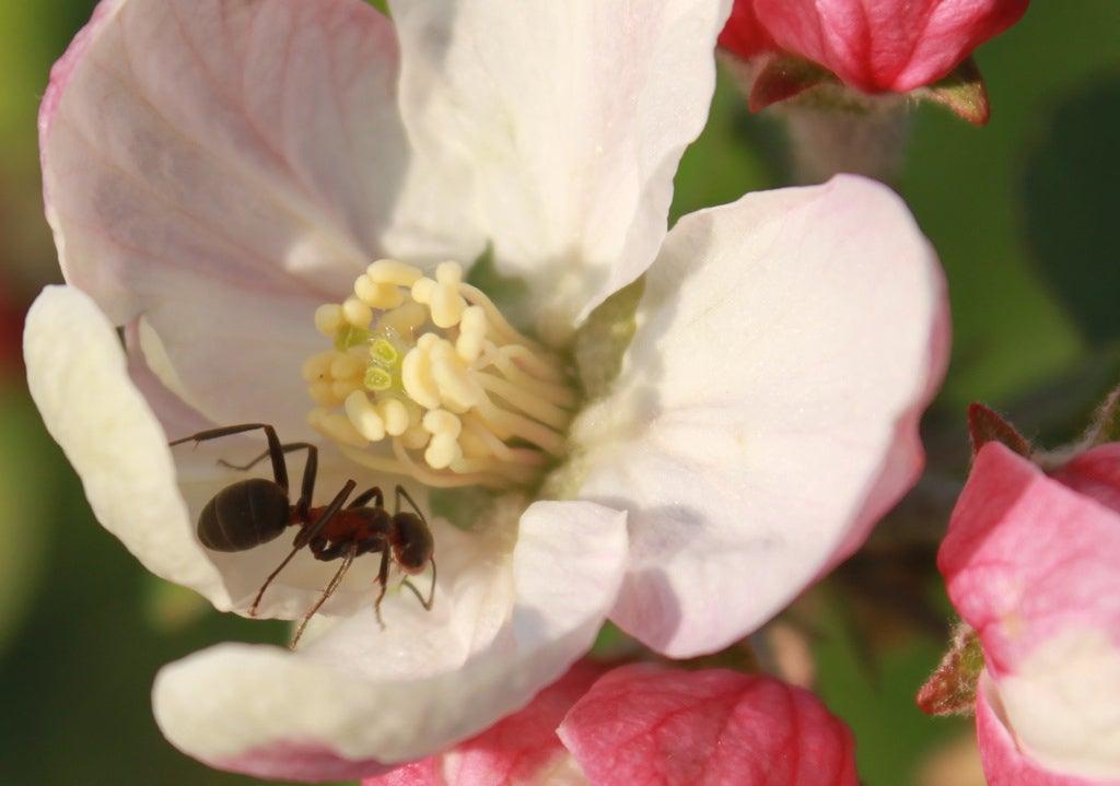 How To Keep Ants Off Flowering Vines