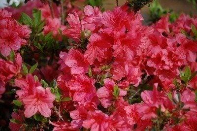 azalea-bush