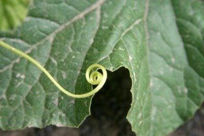cucumber-tendril