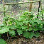 cucumber-trellis