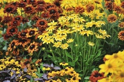 fall flowers in autumn garden