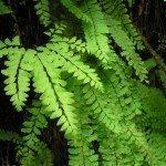 fern-foliage