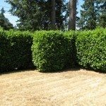 privacy-hedges