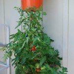 upside-down-tomato-plant