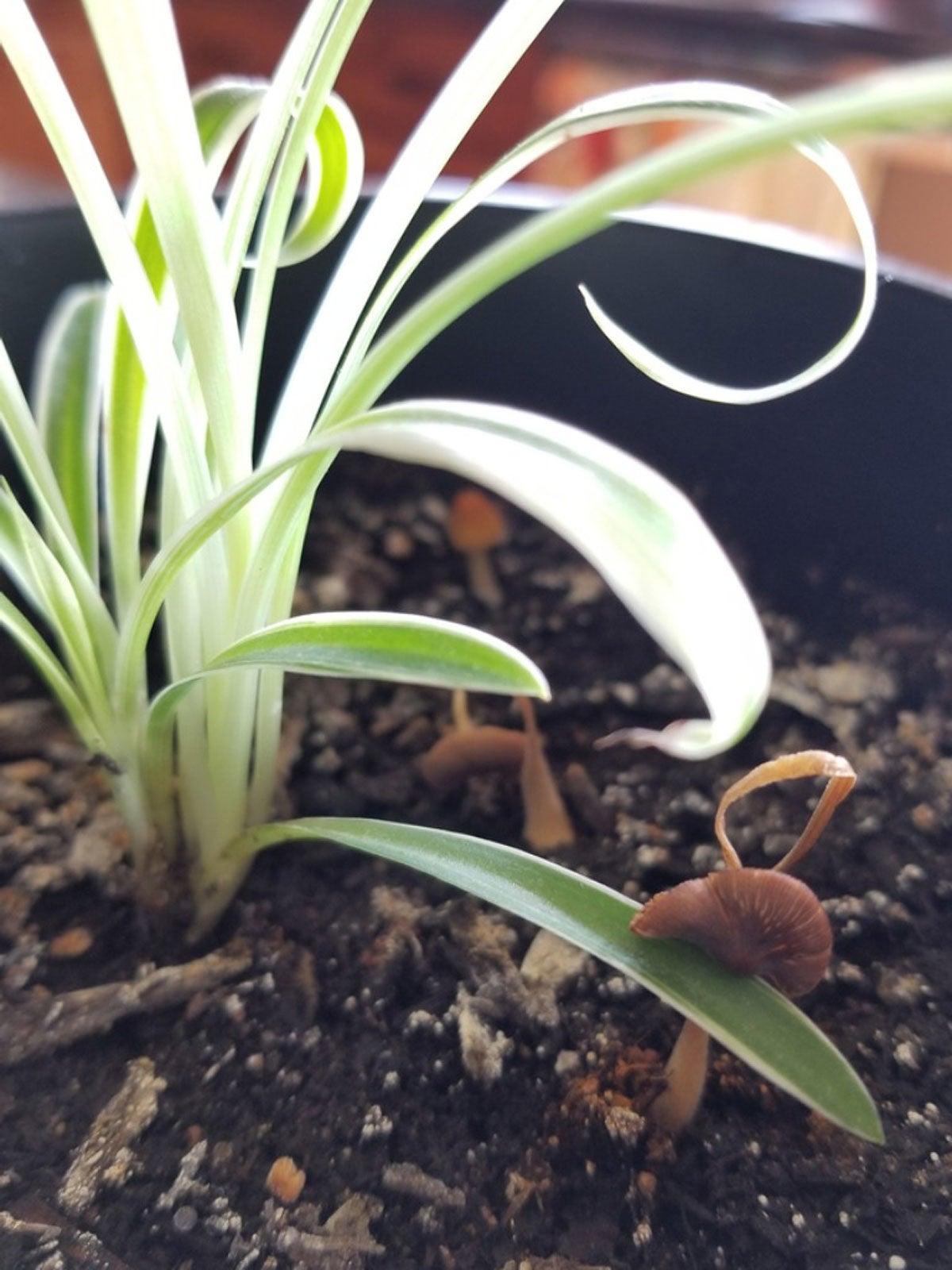 Getting Rid Of Mushrooms Growing In Houseplant Soil Gardening Know How