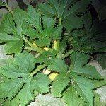 squash-leaves