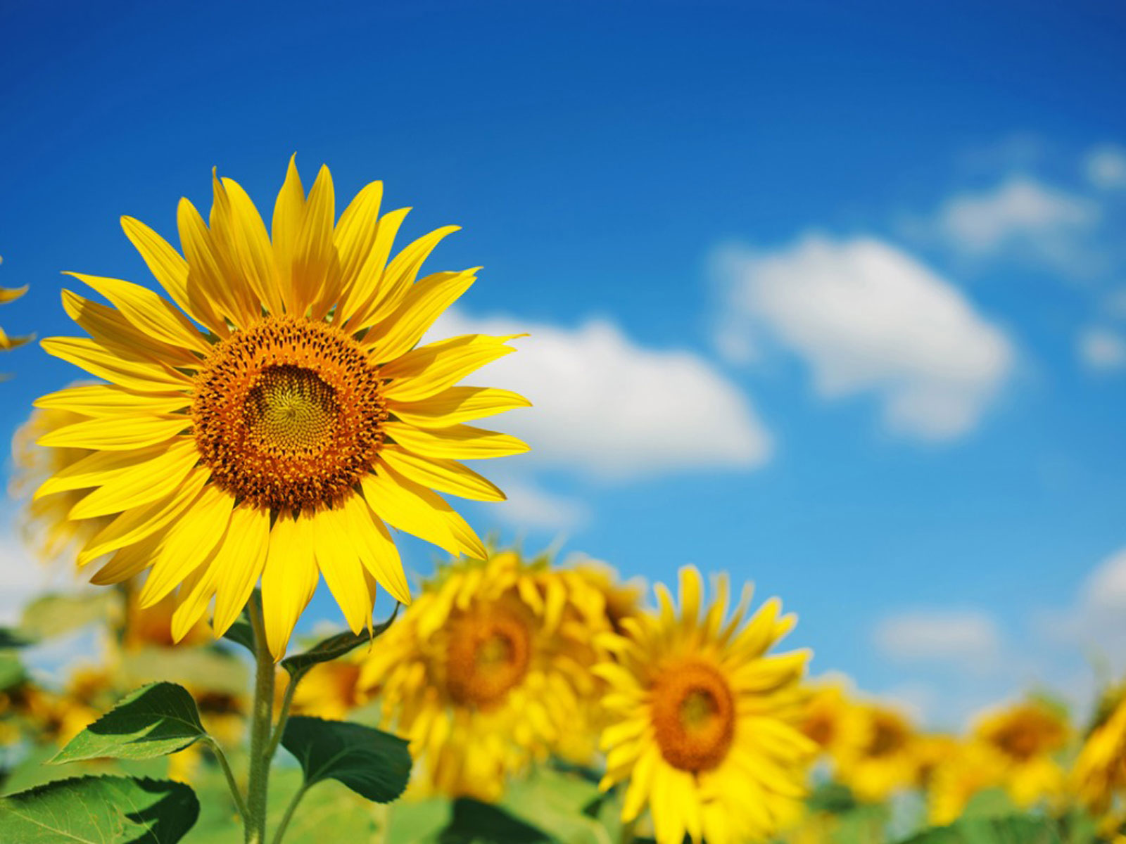 Annual And Perennial Sunflowers