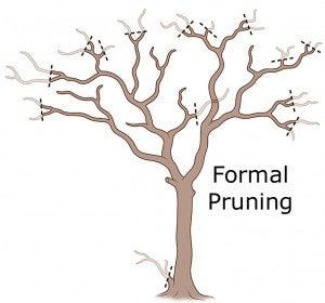 crepe myrtle formal pruning