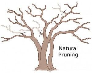 crepe myrtle natural pruning