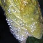 Mealybugs on plant