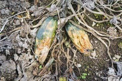 diseased zucchini