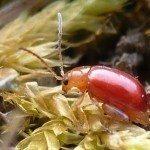 flea-beetle2