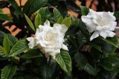 Gardenia not blooming getting a garden to bloom gardenia care to get a gardenia bush to bloom mightylinksfo
