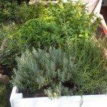 herbs in garden