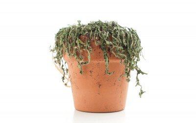 dead plant