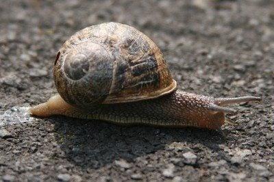 Organic Snail Control: How To Control Garden Snails