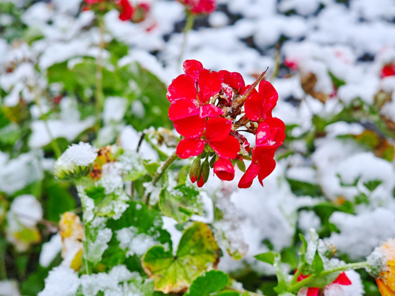 Overwintering Geranium Plant - How To Keep Geraniums Over Winter
