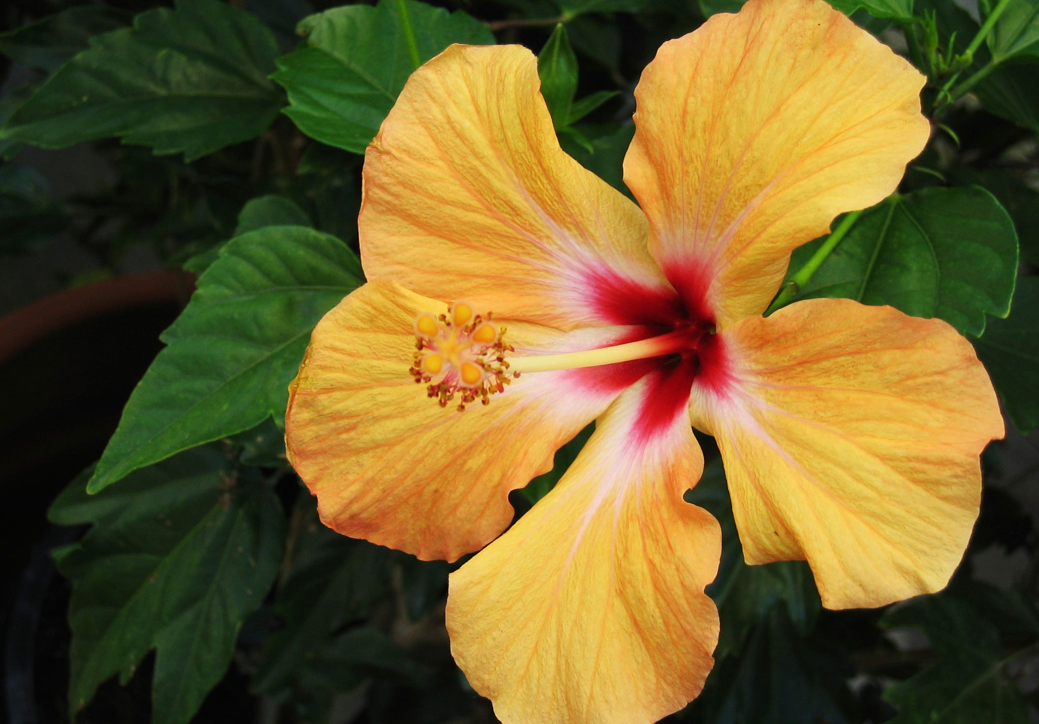 Tips On Caring For Hibiscus Plants
