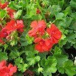 red-geraniums