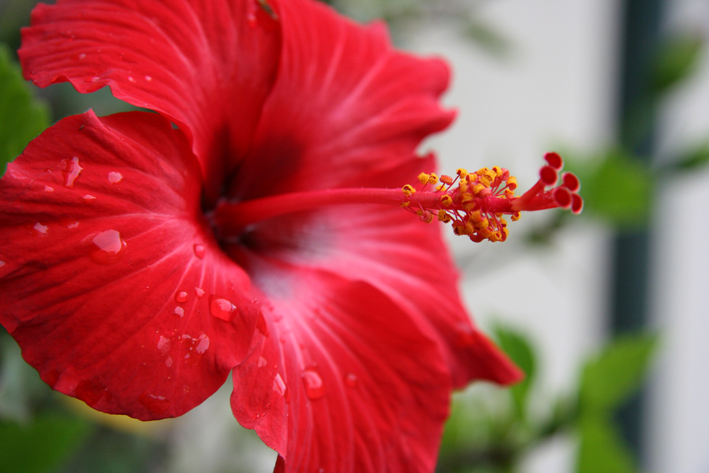 Tips on caring for hibiscus plants for Pianta ibisco