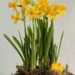 forced-daffodils