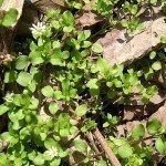 common-chickweed