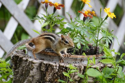Chipmunk Control: Eliminating Chipmunks From Your Garden