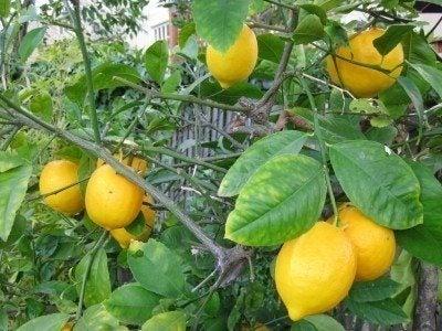 Fertilizing Lemons Learn About Fertilizer For A Lemon Tree