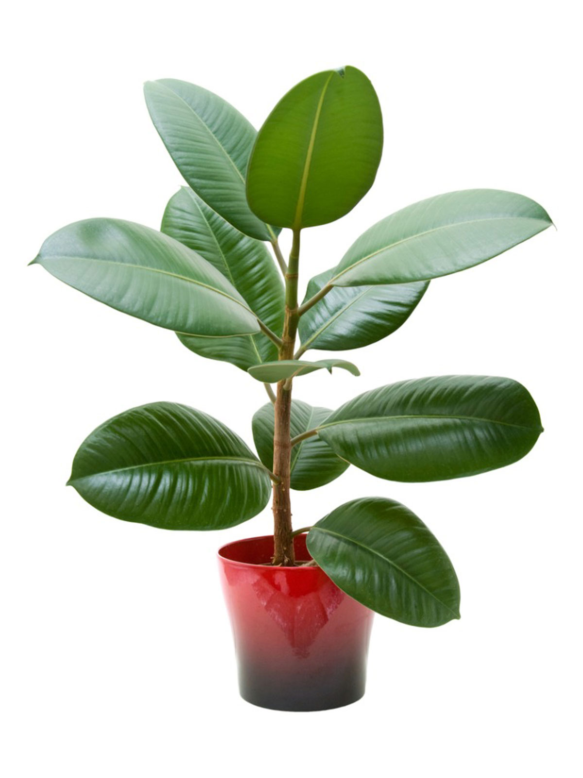 Information On Growing Rubber Tree Houseplants