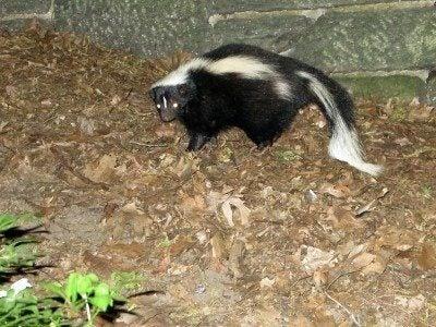 Ways To Get Rid Of A Skunk In The Garden