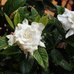 gardenia-blooms