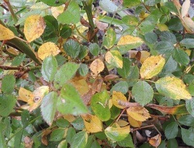 Reasons For Rose Leaves Turning Yellow Gardening Know How